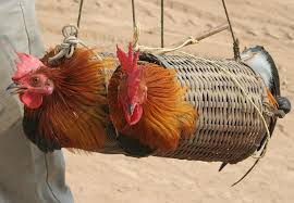 trapped chickens