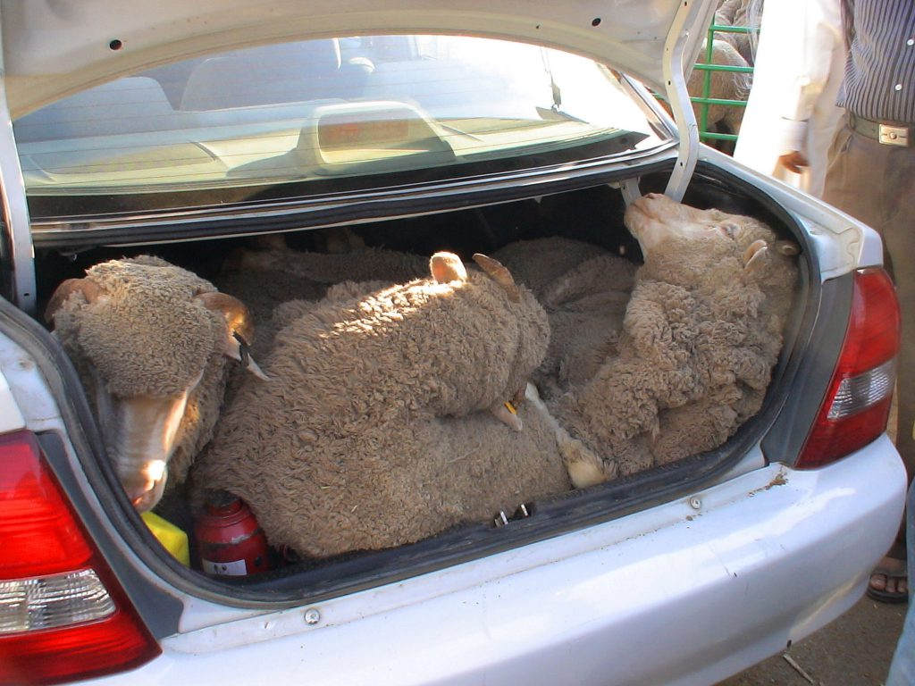 Sheep in car