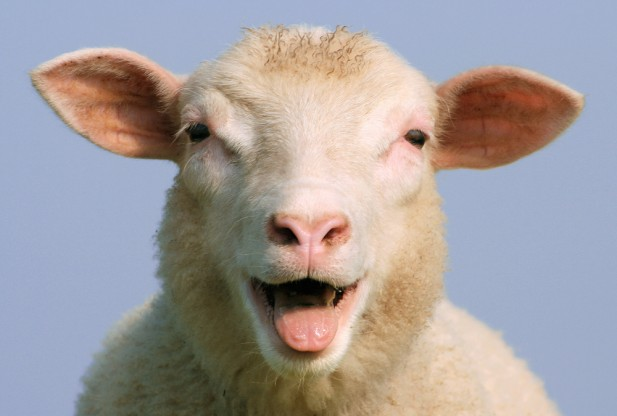 happy sheep smiling