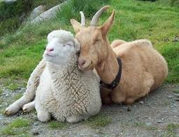 sheep and goat cuddling