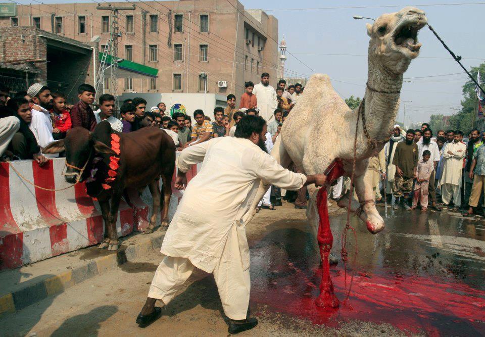 camel slaughter